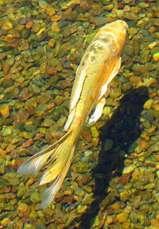 Balboa park nishikigoi pond for Nishikigoi koi