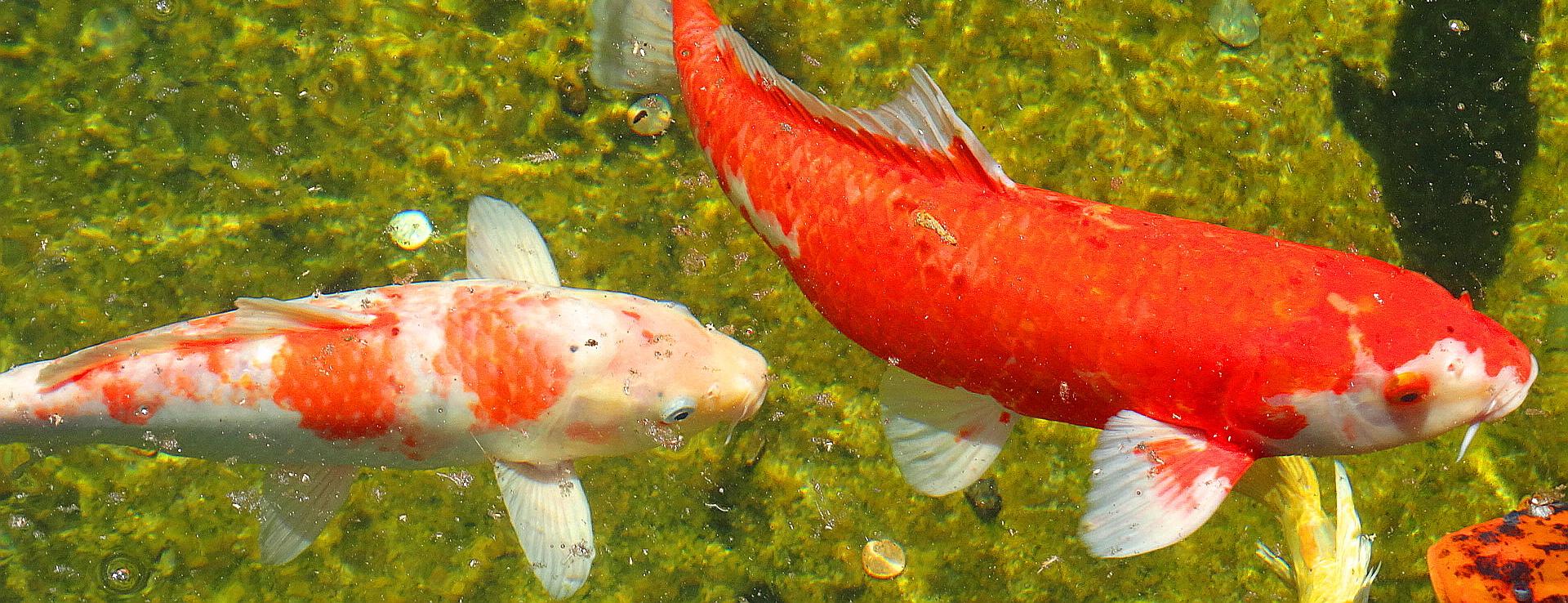Balboa Park Nishikigoi Pond! |