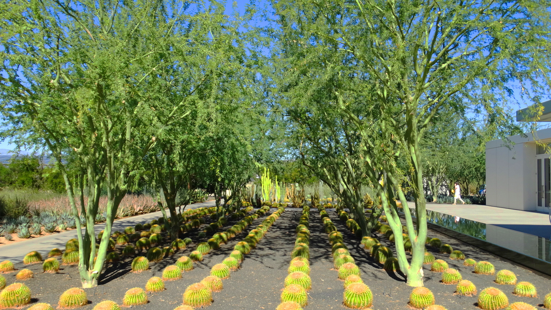 Plants of the mojave ii the anneberg gardens for Landscape trees