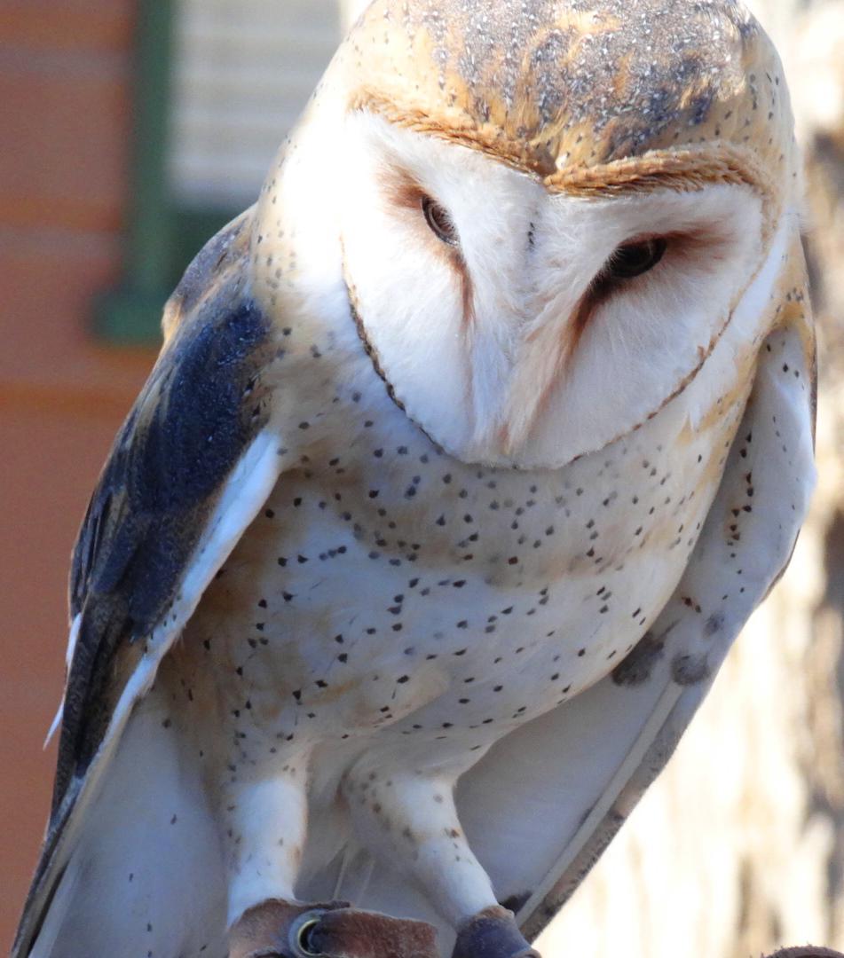 Barn Owls, Holler Hawks in Flight & Happy Holidays to You!