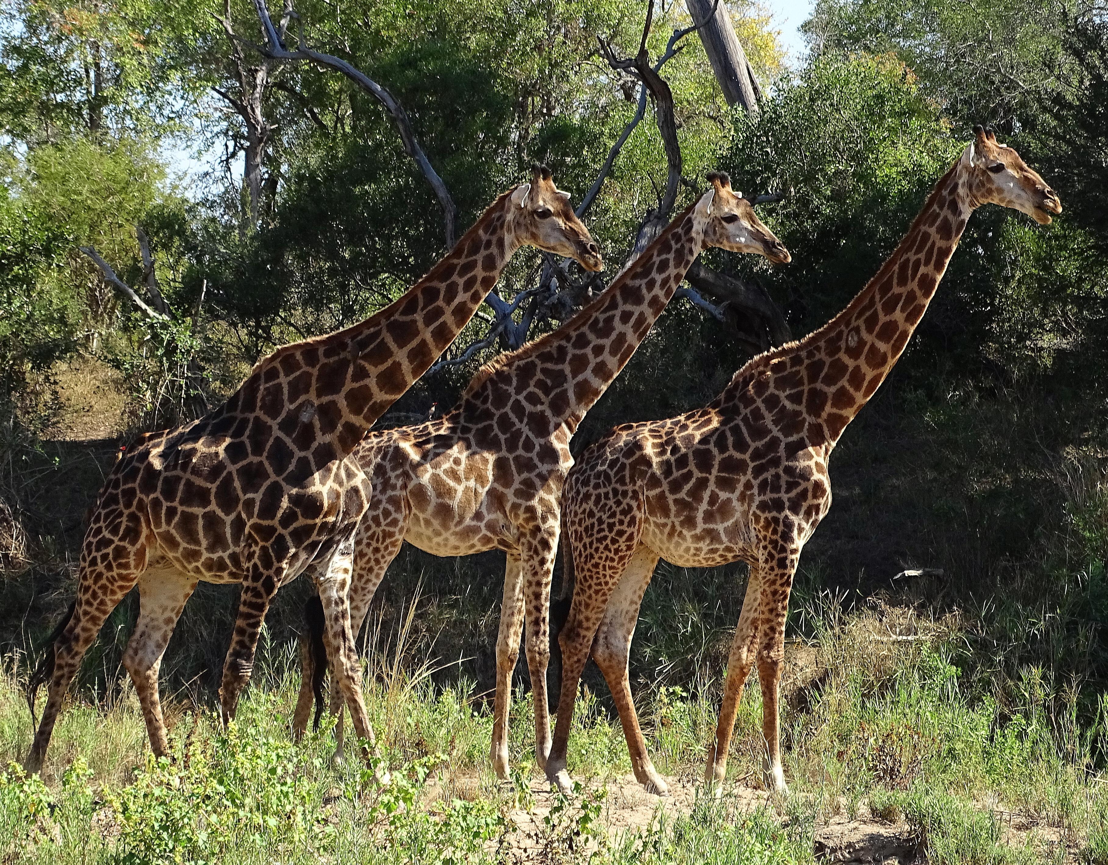 Real three headed animals