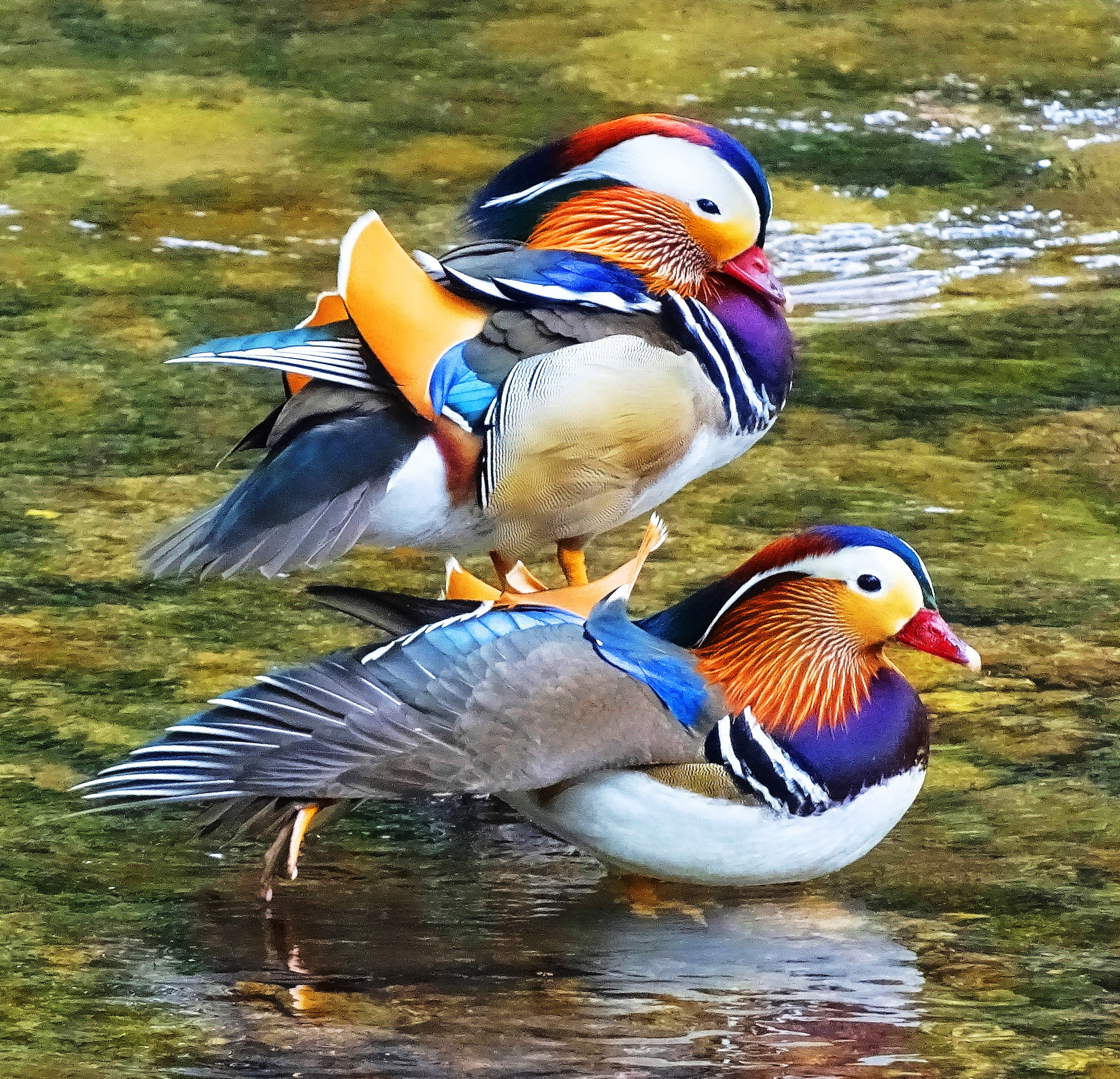 Mandarin Duck: description and photo. Find out where the mandarin duck lives 5