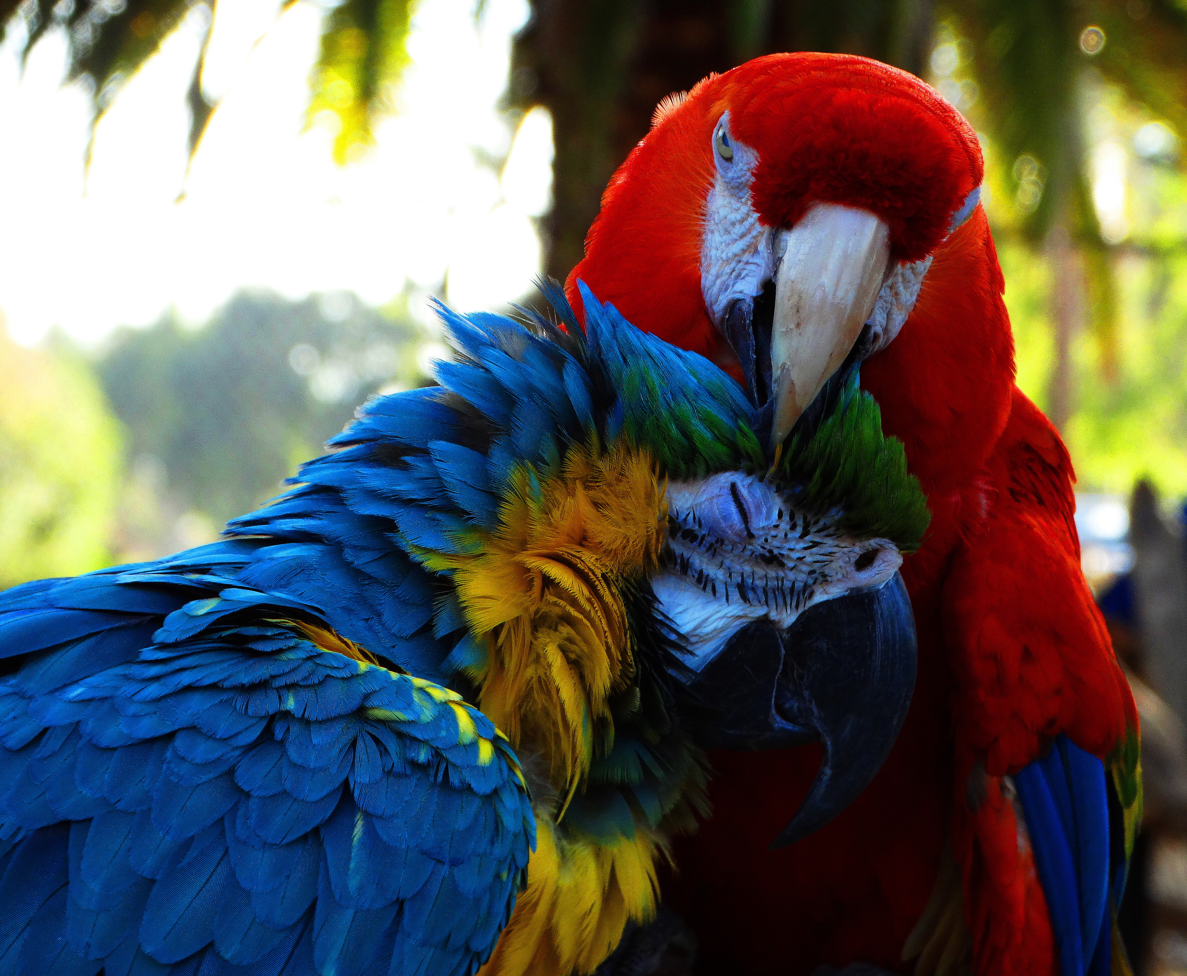 parrot fever It was seven am and steve was in the kitchen, blearily preparing atole for his newest baby the latest arrival in our growing family was perched on the back of a wooden chair across the.